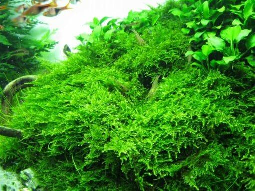 Christmas Moss Akvaryumu