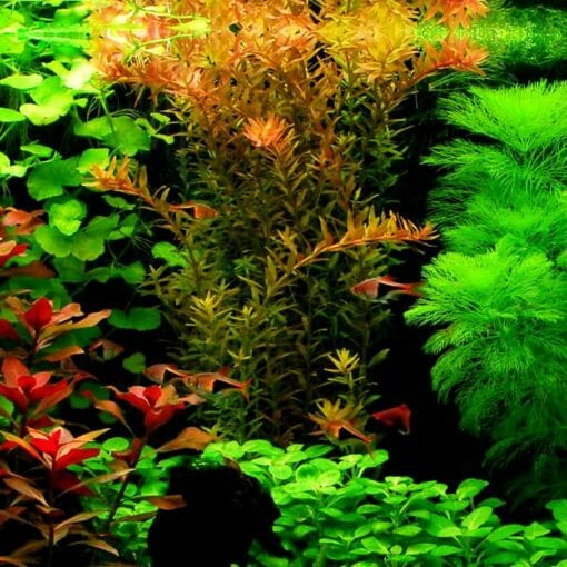 Rotala Rotundifolia Red