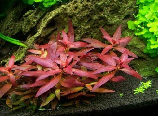 Ludwigia Peruensis Diamond Red (Ludwigia Glandulosa)