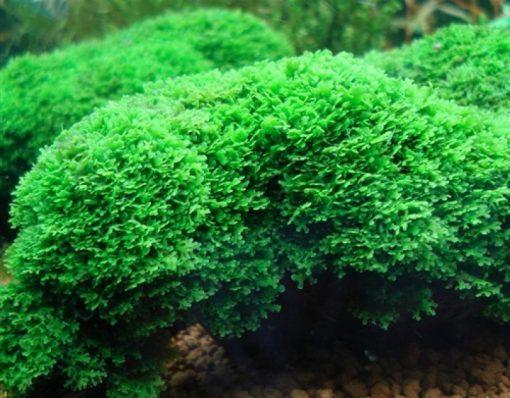 Pellia Moss (Monosolenium Tenerum)