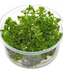 Limnophila Sessiflora, bitkili akvaryumlarda orta plan veya arka plan bitkisi olarak tercih edilen bir bitkidir.