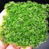 Mini Pellia (Riccardia Chamedryfolia)