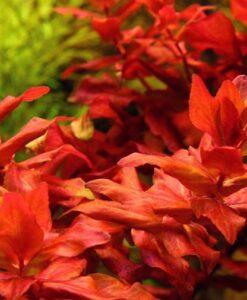 Rotala Macrandra - Kırmızı Arka Plan Bitkisi